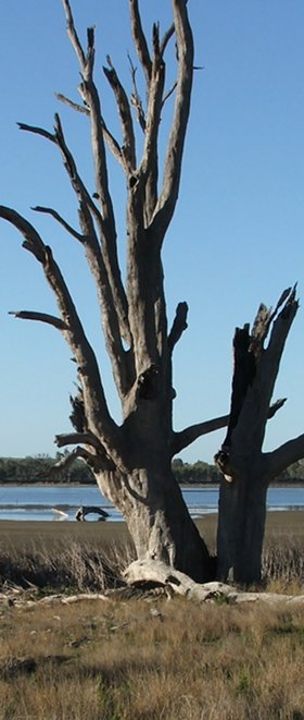 dead rivergums are nesting sites for birds